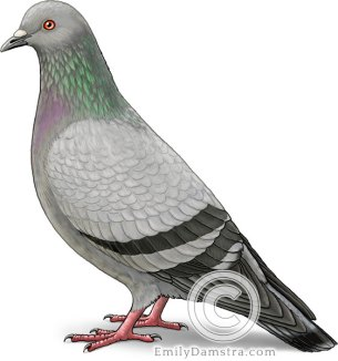 Rock pigeon illustration Columba livia