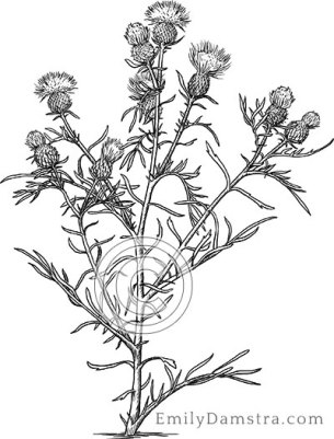 Pitcher's thistle illustration Cirsium pitcheri