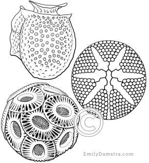 Illustrations of plankton
