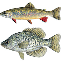 brook trout black crappie fish illustrations