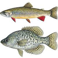 brook trout black crappie fish illustrations