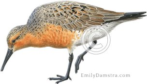 Red knot breeding plumage – Emily S. Damstra