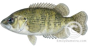 Rock bass Ambloplites rupestris illustration