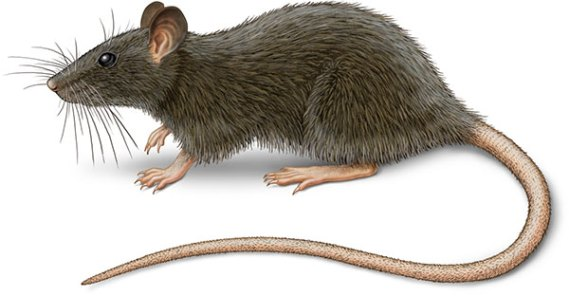 Roof rat illustration Rattus rattus