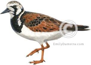 Ruddy turnstone, breeding plumage – Emily S. Damstra