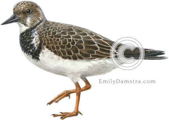 Arenaria interpres Ruddy turnstone non-breeding plumage illustration
