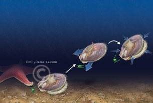 Scallop swimming illustration