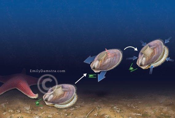 Scallop swimming illustration