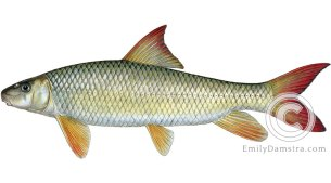 shorthead redhorse Moxostoma macrolepidotum illustration