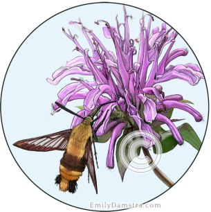 Snowberry clearwing moth on wild bergamot – Emily S. Damstra