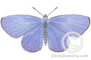 Spring azure butterfly illustration Celastrina ladon