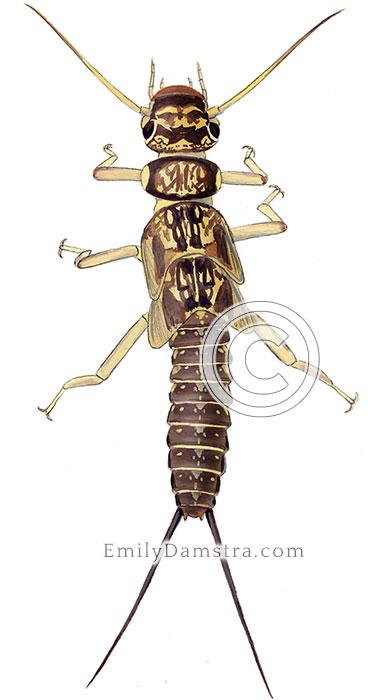 Stonefly larva illustration