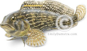 Striped blenny illustration Chasmodes bosquianus