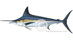 Striped marlin illustration Tetrapturus audax