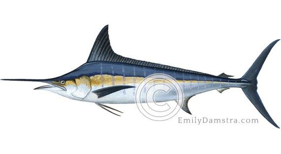 Striped marlin illustration Tetrapturus audax