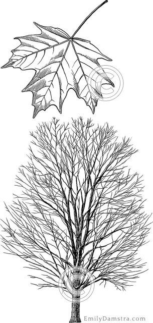 Sugar maple illustration Acer saccharum