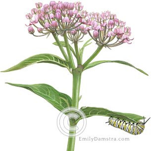 swamp milkweed with monarch caterpillar Asclepias incarnata Danaus pexippus