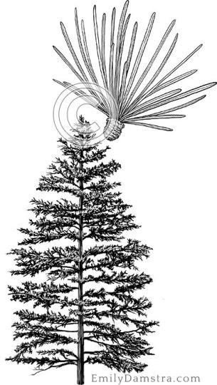 Tamarack (American larch) illustration