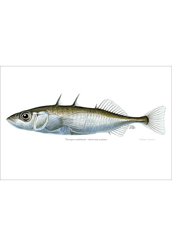 threespine_stickleback1_print