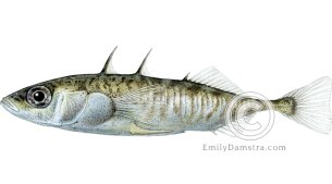 Three-spined stickleback – Emily S. Damstra