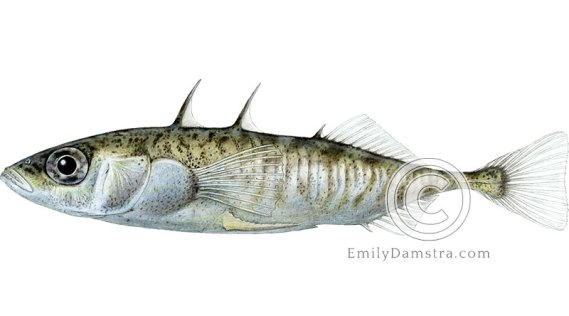 Three-spined stickleback illustration Gasterosteus aculeatus
