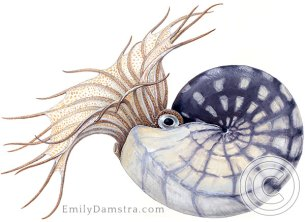 Devonian ammonoid illustration