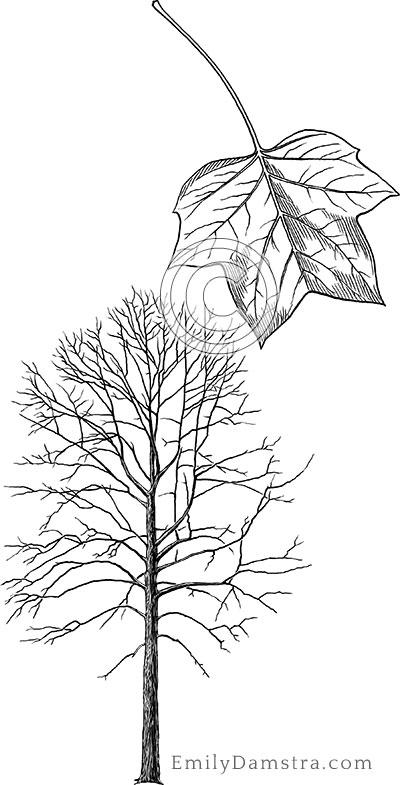American tulip tree illustration Liriodendron tulipifera