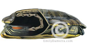 Red-eared Slider neck anatomy illustration – Emily S. Damstra
