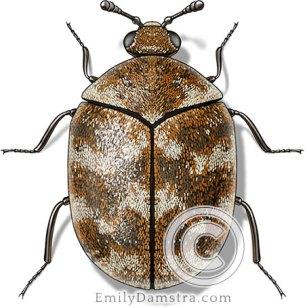 Varied carpet beetle illustration Anthrenus verbasci