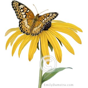 Variegated fritillary black-eyed susan illustration Euptoieta claudia Rudbeckia fulgida illustration