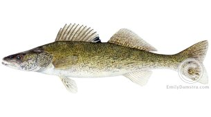 Walleye Sander vitreus illustration