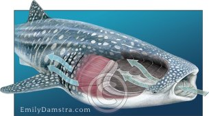Filter feeding anatomy of the whale shark Rhincodon typus