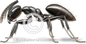 White footed ant illustration Technomyrmex albipes