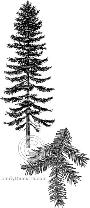 White spruce illustration Picea glauca