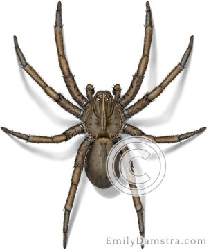 Wolf spider illustration Hogna helluo