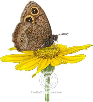 Common Wood-nymph on Woolly sunflower – Emily S. Damstra