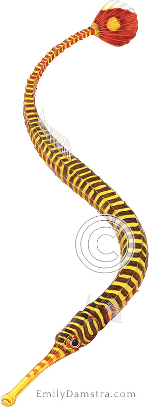 Yellow banded pipefish illustration Doryrhamphus pessuliferus