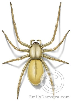 Yellow sac spider illustration Cheiracanthium inclusum