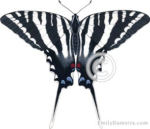 Zebra swallowtail illustration Eurytides marcellus