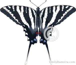 Zebra swallowtail – Emily S. Damstra