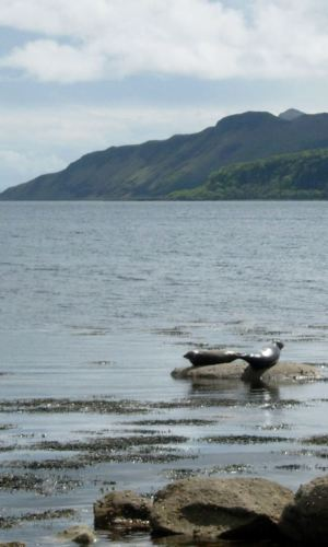 Two seals on the Isle of Bute