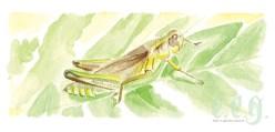 june : grasshopper