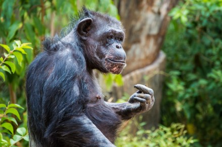 chimp-10