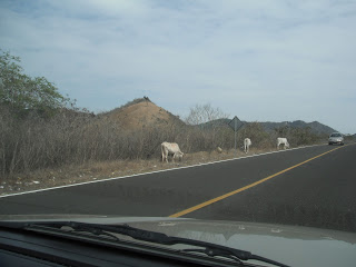 Cows on side of road