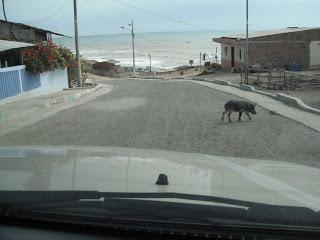 Pig crossing road