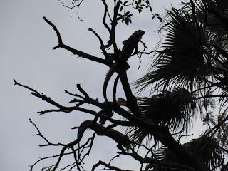 Iguanas in trees