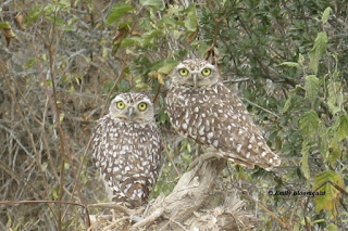Burrowing owl adults, Puerto Lopez, Ecuador