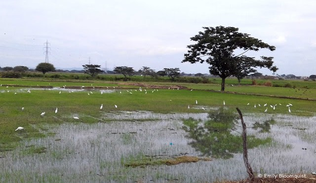 Egrets in Ecuador rice field