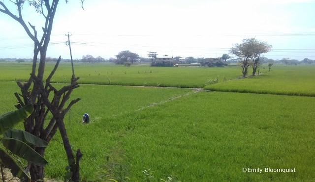 Farmer working in Ecuador rice field