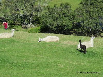 Young llama watching guy wearing red